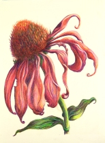 """""""Healing Echinacea"""" by Lynn Vincent ."""